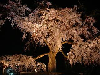 円山公園 枝垂桜 夜1.jpg