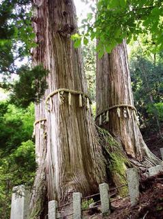 花背の三本杉3.jpg